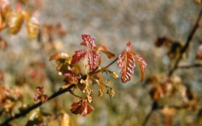 YUCK! Poison Oak in Southern Oregon