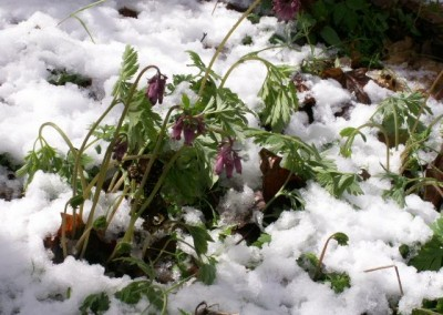 Oregon-WIldflowers-Botany-Snow