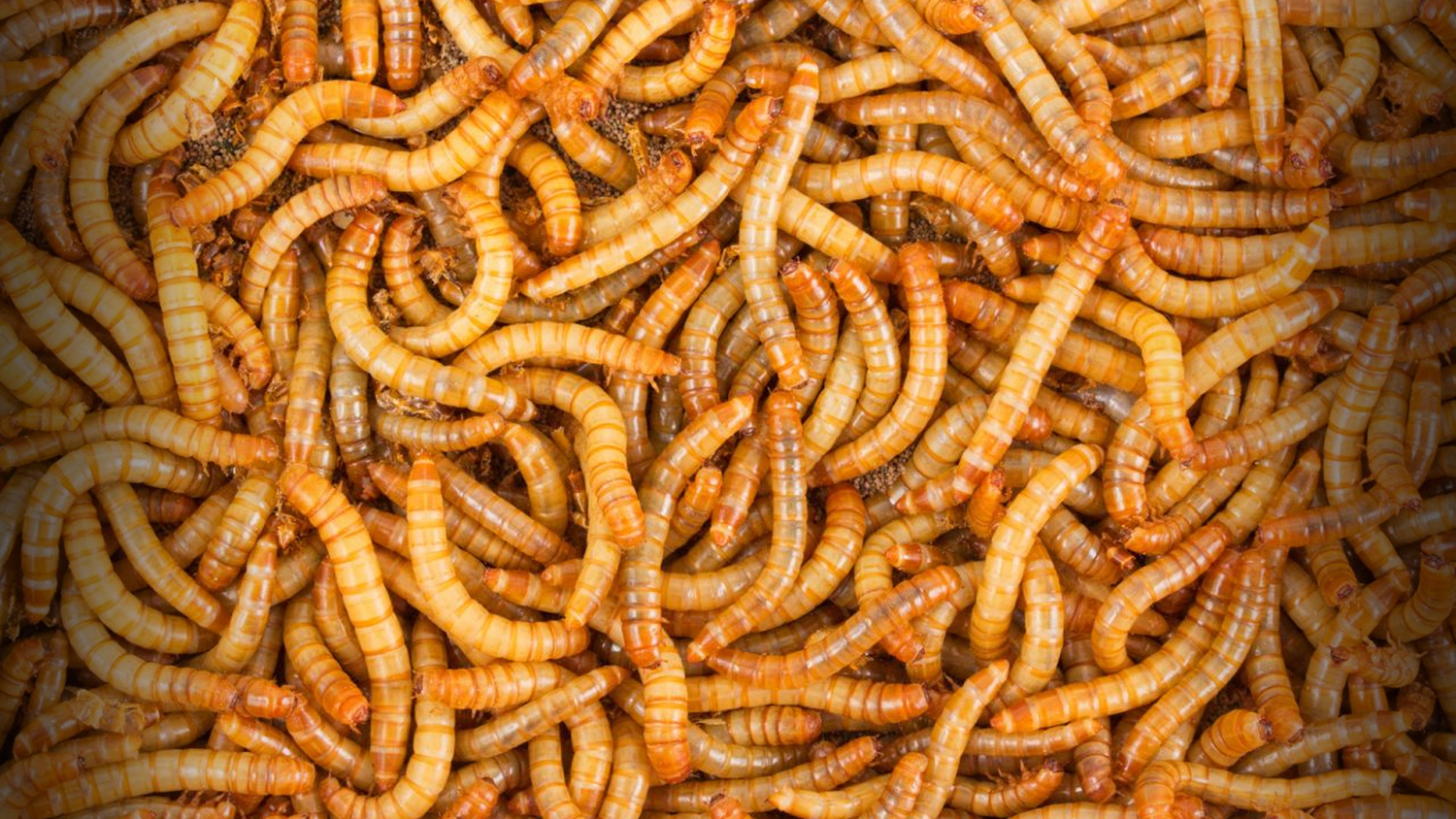 Meal Worms for fishing in Oregon
