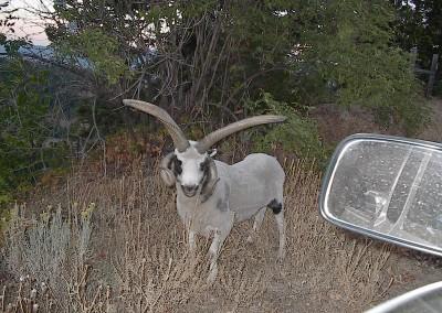 Pilot Rock - Jacobs Aftrican Goat