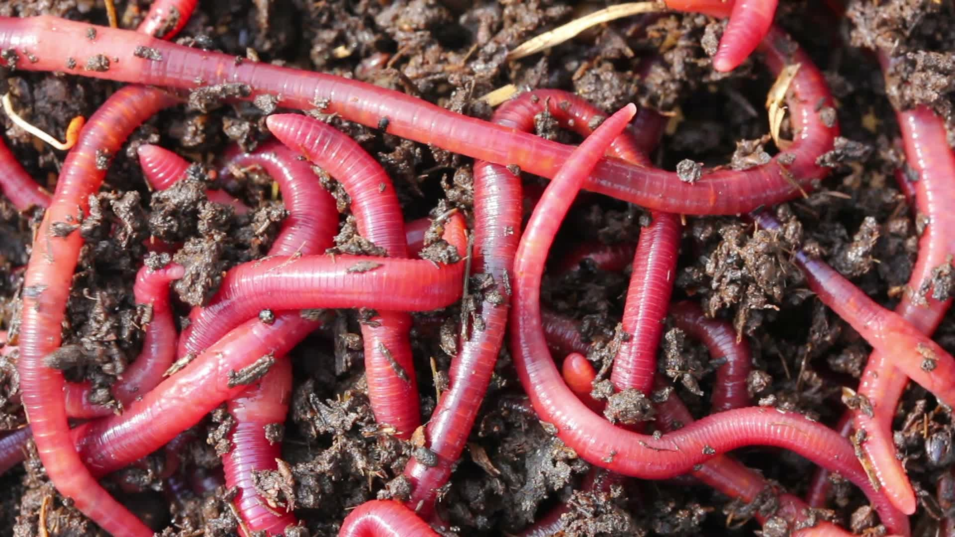 Red Worms for fishing in Oregon