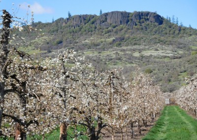 table-rock-pear-blossums-orchard